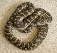 coastal carpet python for sale - Home The Honoroak