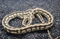 Coastal Carpet Python - Carpet Vidalondon