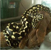 Jungle Carpet Python Enclosure Size - Carpet Vidalondon