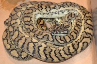 Coastal Carpet Python Brisbane - Carpet Vidalondon