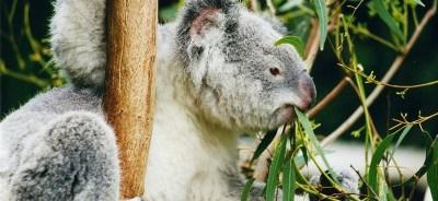 Eucalyptus-globulus-oil68-whick one