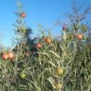 Sandalwood Bush & Nuts