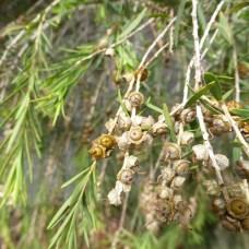 tea-tree-premium-ericifolia-foliage