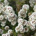 fragonia-flowers