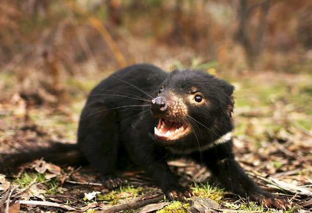 Tasmanian Devil Australian animal emblem