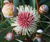 western australian native plants