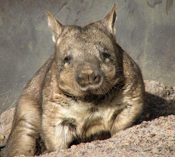 Southern Hairy Nose wombat Australian faunal emblem