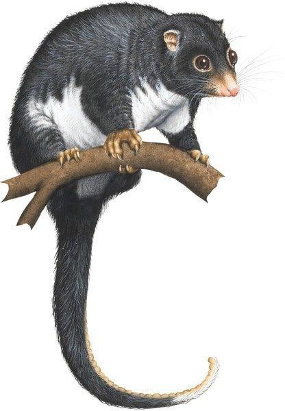 herbert river possum