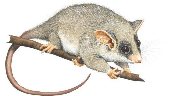 long tailed pygmy possum