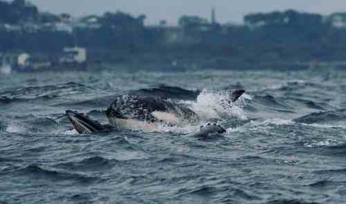 orca attacking humpback whale