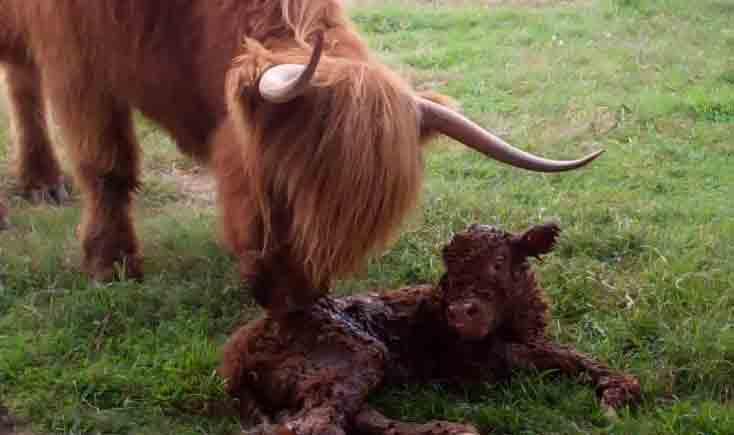 Ennerdale Highland Cattle - Calving