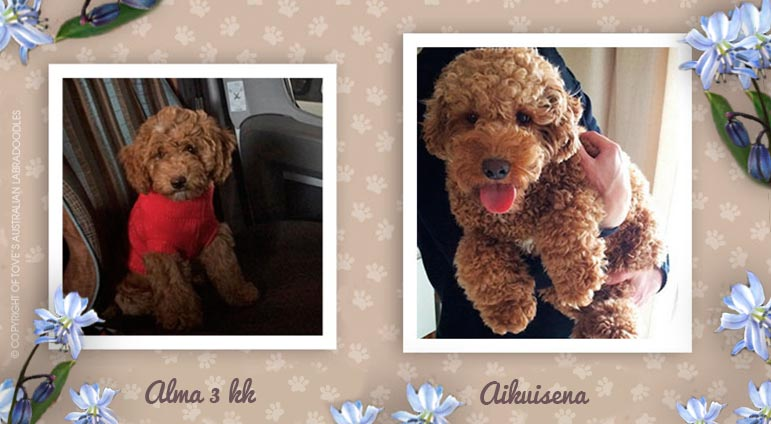 australian_labradoodle_gold_kultainen_puppy_to_adult_gallery