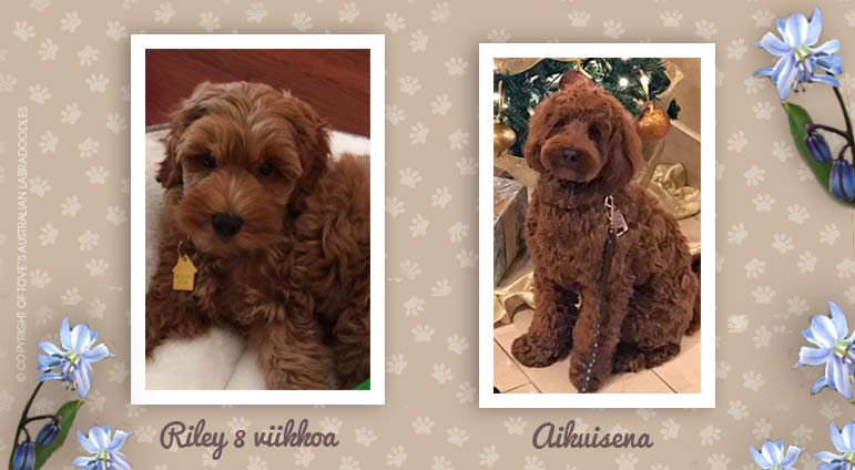 rily_before_after_labradoodle