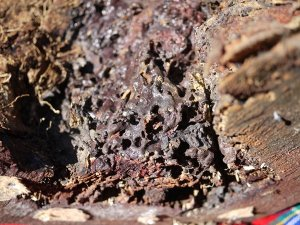 Native-bees-in-log-
