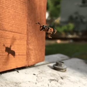 Fly mimic wasp