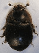 South african hive beetle - hive split