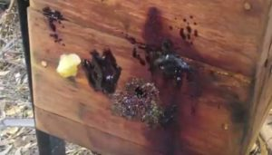 Resins on a little black bee native bee hive.