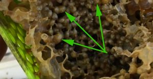 micro colonies bee egg cells