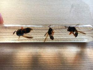 Fly mimic wasp pests