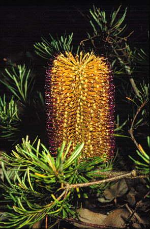Banksia spinulosa  Australian Native Plants  Plants