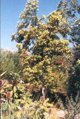Hymenosporum flavum  Australian Native Plants  Plants  8007016517