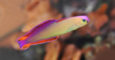 firefish-goby