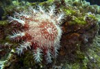 New Crown of thorns starfish test