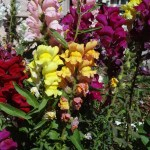 Snapdragons from Seed