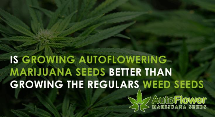 regular marijuana vs autoflower