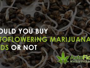 why buy autoflower marijuana