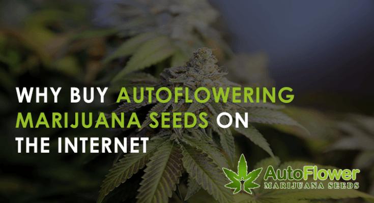 auto-flowering marijuana seeds