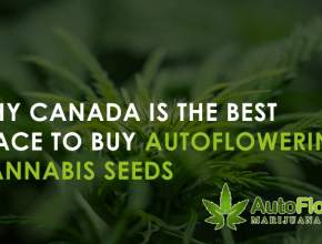 buy autoflowering cannabis seeds uk