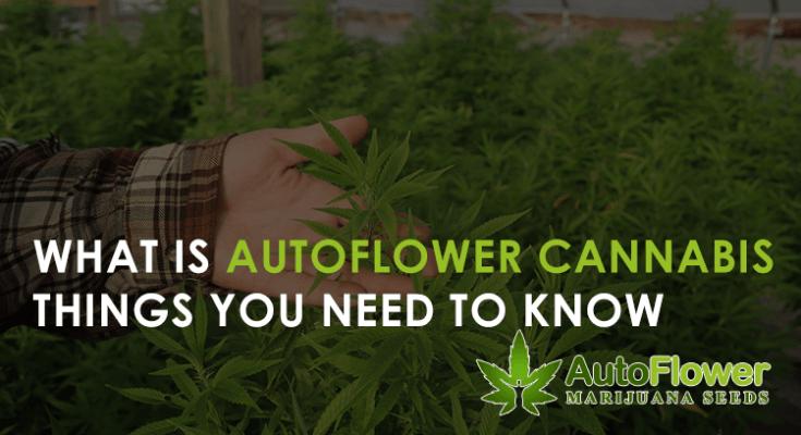 what is autoflower cannabis