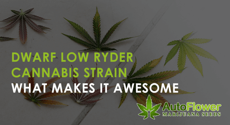 dwarf low ryder cannabis seeds