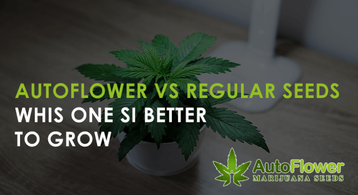 autoflower vs regular