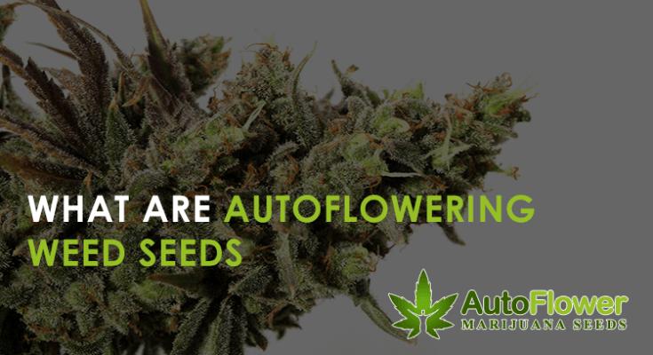 autoflowering weed seeds