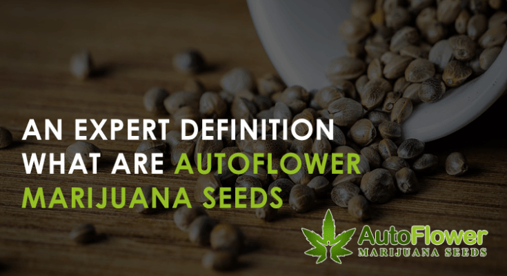 autoflower marijuna seeds definition