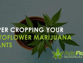 super cropping marijuana autoflowering