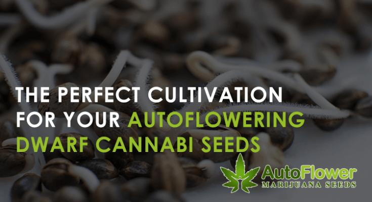 cannabis seeds autoflowering dwarf