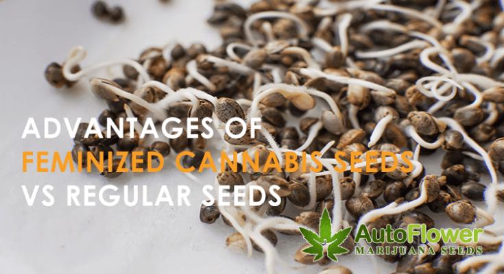 feminized seeds vs regular