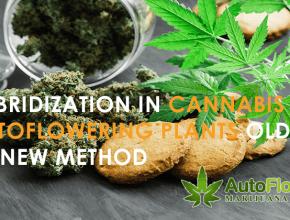 hybrid autoflowering cannabis seeds