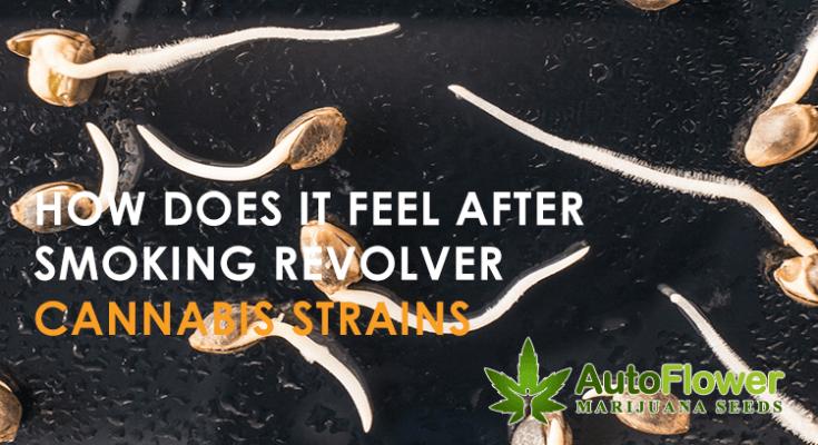revolver cannabis strain