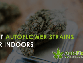 best autoflower strains for indoors