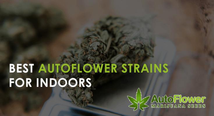 best autoflower strains for indoors