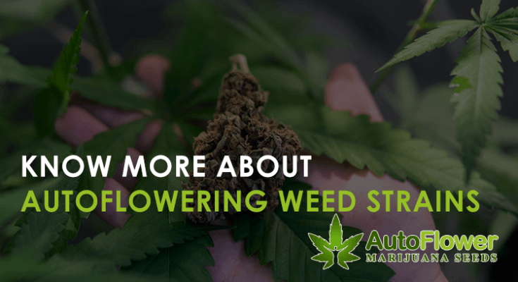 autoflowering weed strains