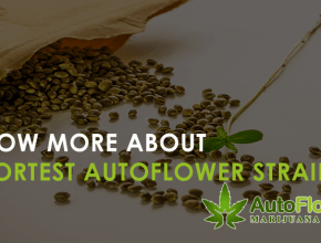 shortest autoflower strain
