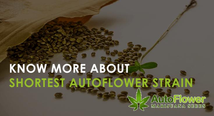 shortest autoflower strain