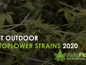 best outdoor autoflower strains 2020