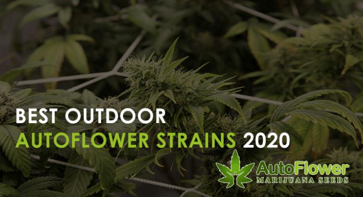 best outdoor autoflower strains 2020