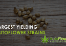 largest yielding autoflower strain